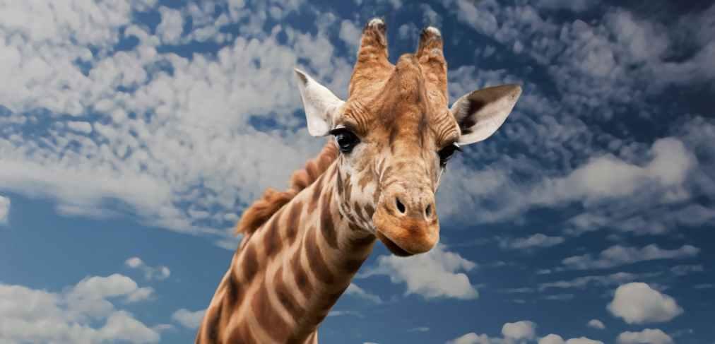 An interesting solution of the data giraffeproblem